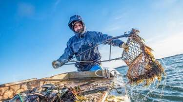 Anthony Rispoli hauls in scallops on Peconic Bay