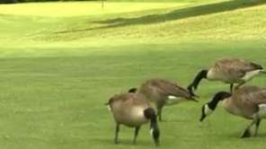Nearly 500 geese were euthanized after desecrating the