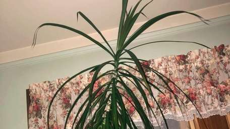 Reader Gina Sarro's Madagascar dragon tree is outgrowing