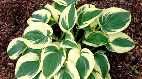 Hostas are generally hardy enough to move even