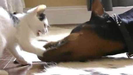 Kitten vs. Doberman