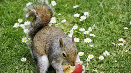 Though it's tough to repel squirrels from fruit