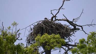 One of the two eaglets that have been