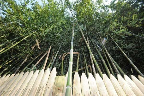 Bamboo grows in the Town of Huntington. (June