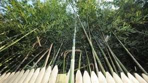 Bamboo grows in the Town of Huntington on