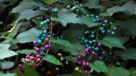 Porcelain berry is a beautiful but invasive weed