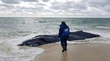 A female humpback whale spotted in the surf