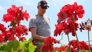 Take cuttings of geraniums and root indoors for