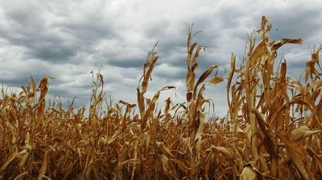 Dry corn is pictured in a field as