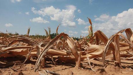 Corn plants dry in a drought-stricken farm field