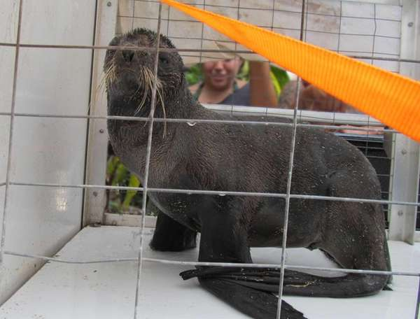 A northern fur seal in a cage in