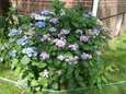 Lacecap Hydrangea macryphylla growing in reader Doug Ward's