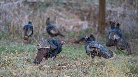 Wild turkeys graze in a Southold yard.