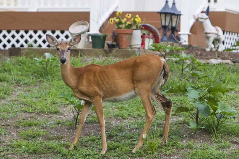 A deer stands in the yard of a