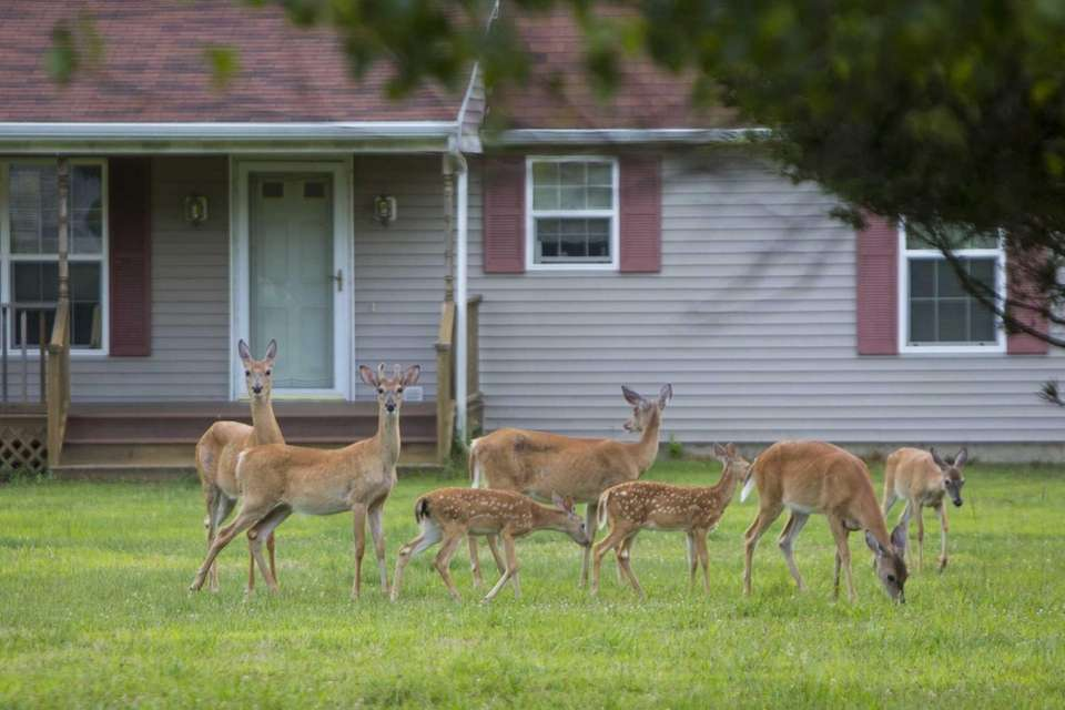 Deer graze fearlessly in front of a home