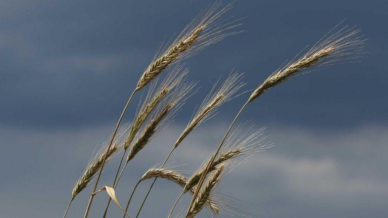 Barley grows on a farmer's field as a