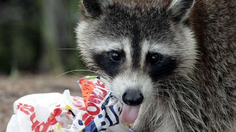 Crafty raccoons will help themselves to your garbage,