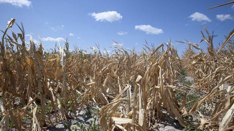 A dry field of corn near Ashland, Neb.