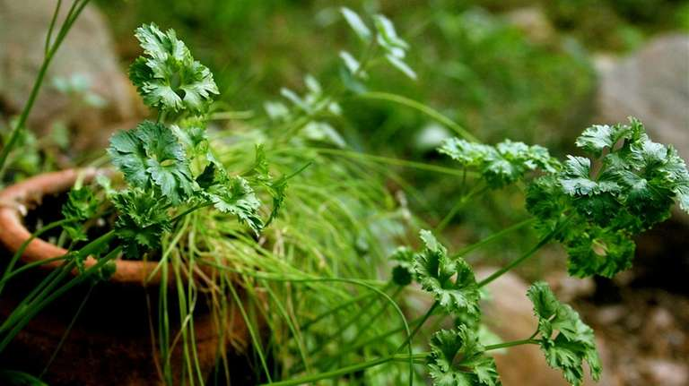Any herbs that aren't annuals -- including parsley