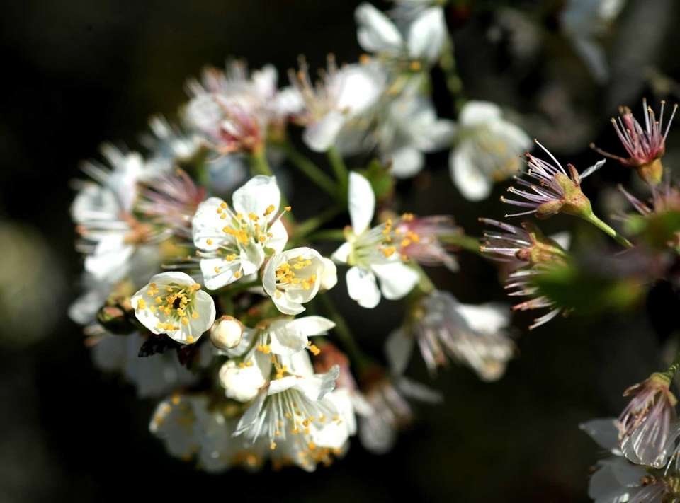Flowering beach plum plants are among the vegetation