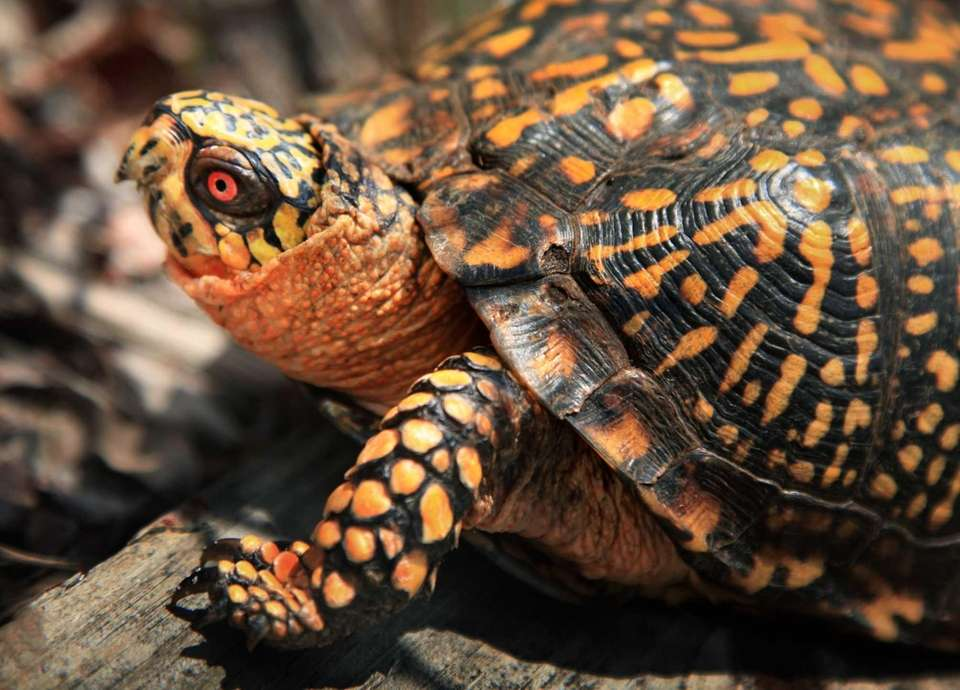 A box turtle is right at home among