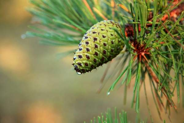 A new pine cone begins to form on