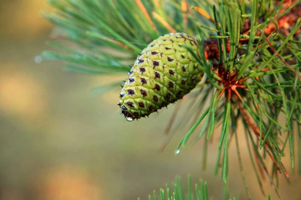 Pino Mugo enano, Pinus mugo pumilio | La comunidad de Home Depot