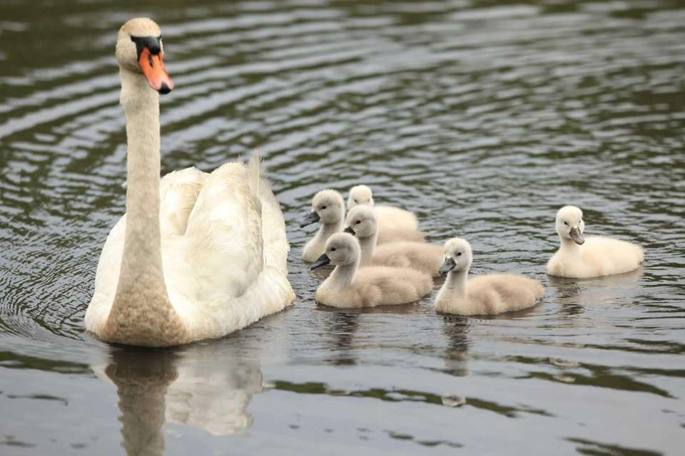 A mother swan and her eight cygnets are
