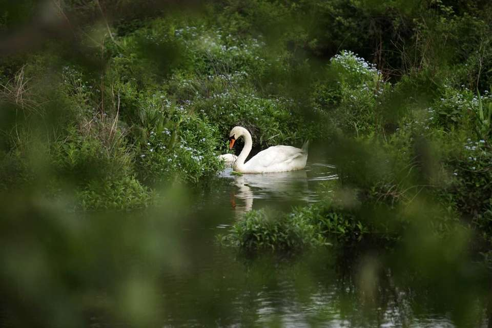 A mother swan and her eight cygnets swim