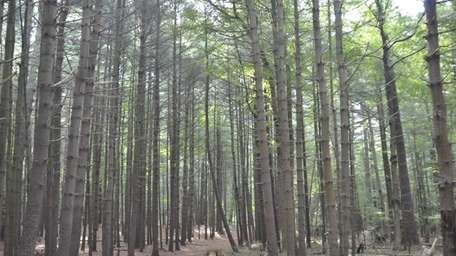 PROSSER PINES COUNTY PARK, Yaphank-Middle Island Road, Middle