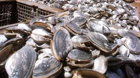 A file photo of cages of clams aboard