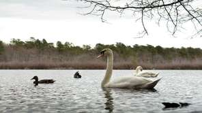 A swan passes by near the banks of