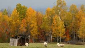 Sheep graze at the Comstock House farm in