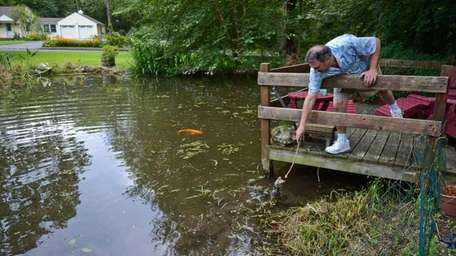 Kenny Reed feeds full grown turtles and koi