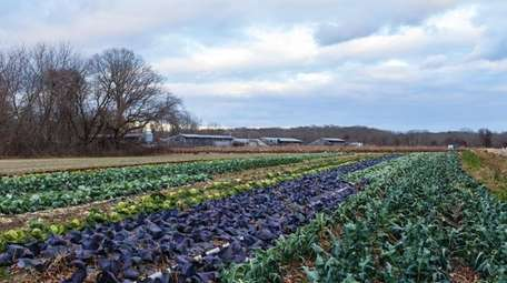 A farm on Barnes Road in Moriches, in