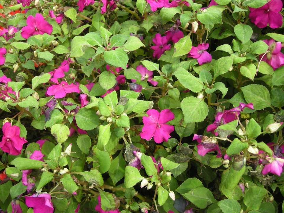 These impatiens are just starting to yellow and