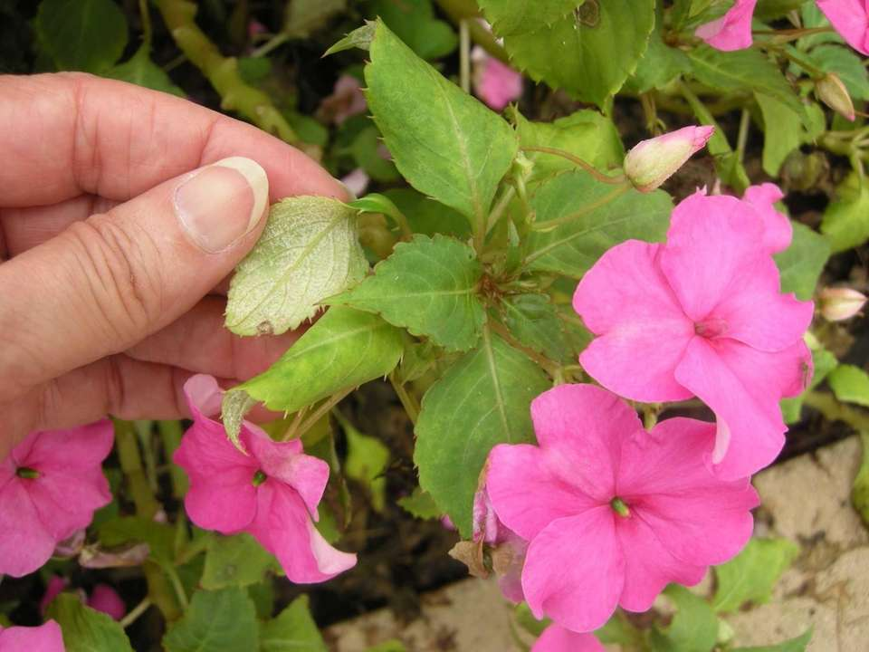 The undersides of these yellowed, down-curled impatiens leaves
