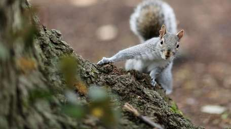 Foraging squirrels can doom residential gardeners' crops.