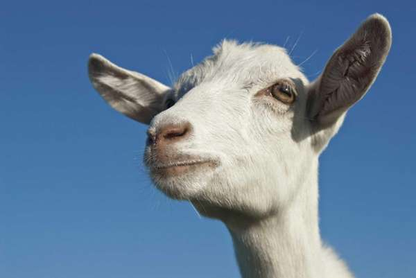 """""""What's the big deal about goats? They provide"""