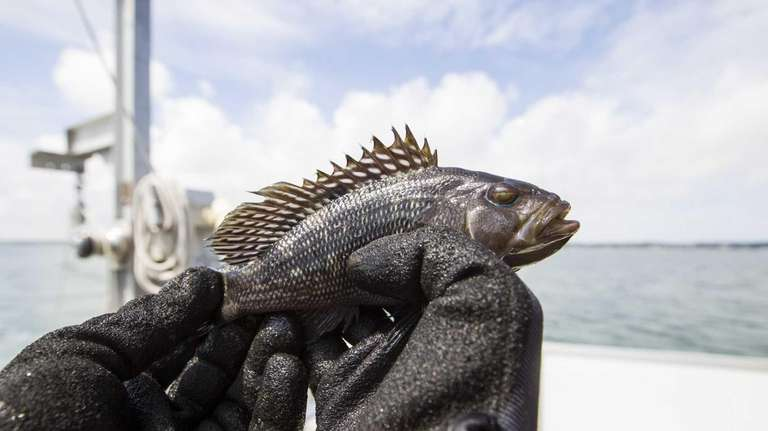 A young Black Sea Bass is retrieved from