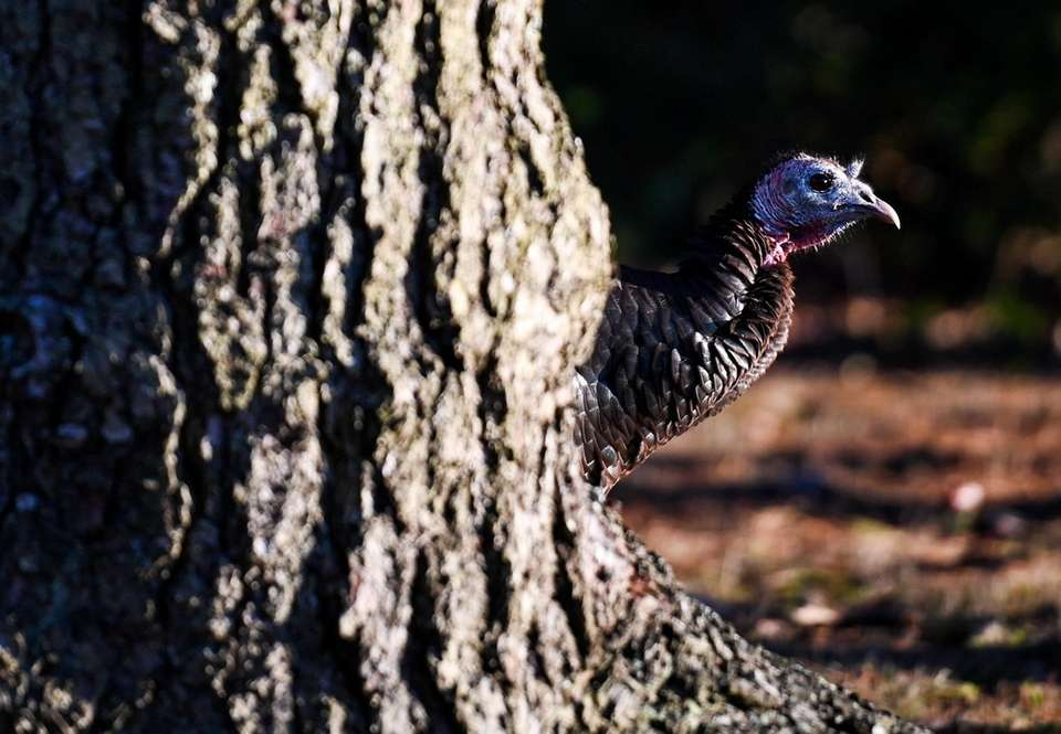 Wild turkeys roam yards in Bellport, Tuesday, Nov.
