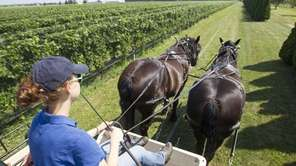 Spencer and Tracey, two Percheron horses, lead the