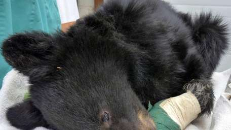A black bear cub nicknamed Boo Boo that