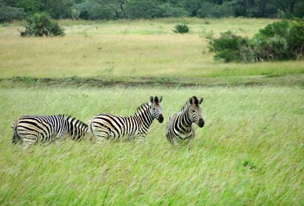 Zebras graze in the Phinda Private Game Reserve,