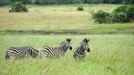 Zebras graze in the Phinda Private Game Reserve,
