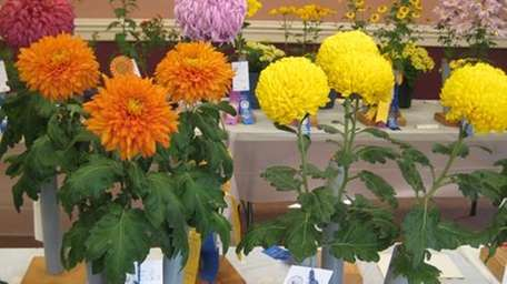 Flowers on display at the 2011 Chrysanthemum Society