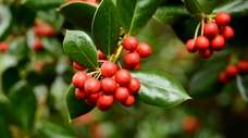 Red holly berries are so appealing to the