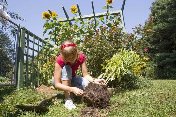 Sara Norkelun, 22, plant sneezeweed, a perennial that