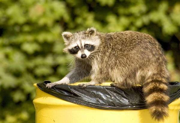An undated picture of a raccoon on top
