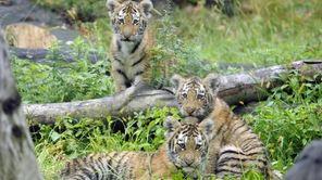 Photo provided by the Wildlife Conservation Society, three